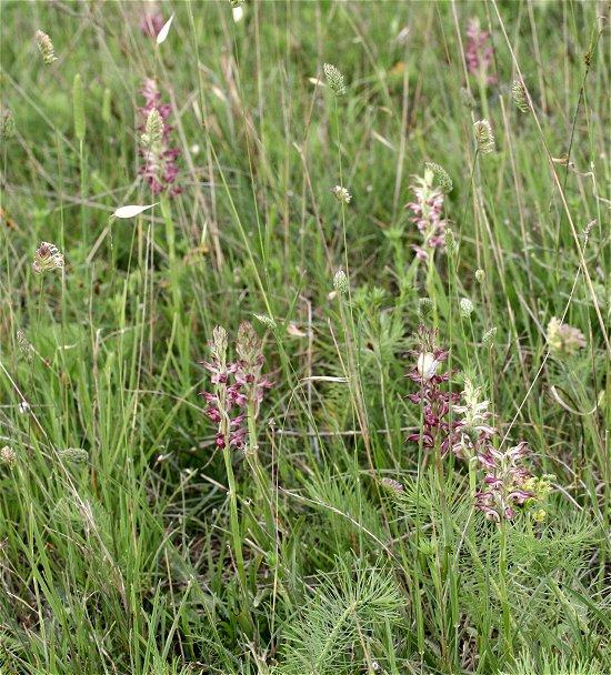 Pollinisation de Anacamptis coriophora ssp. fragrans Statio15