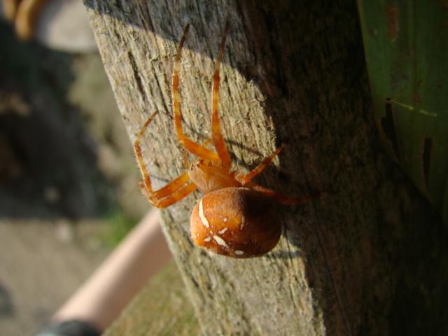 araignée Dsc07612
