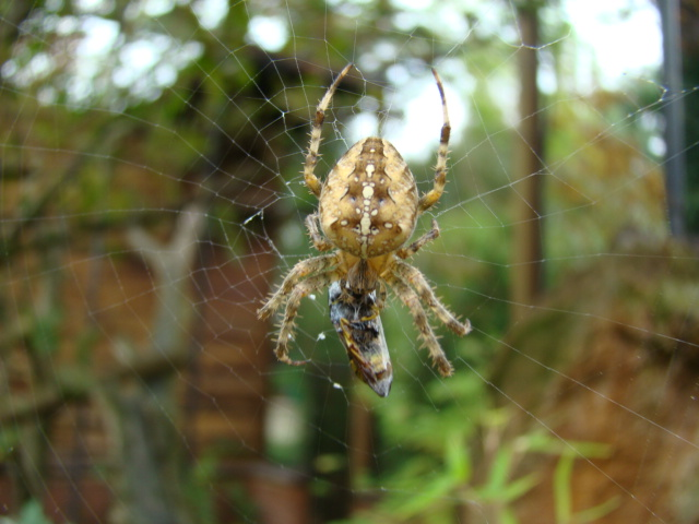 araignée Dsc08917