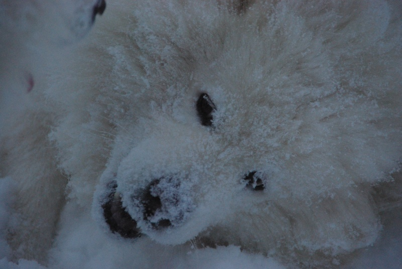 des samoyedes et la neige Imgp7423