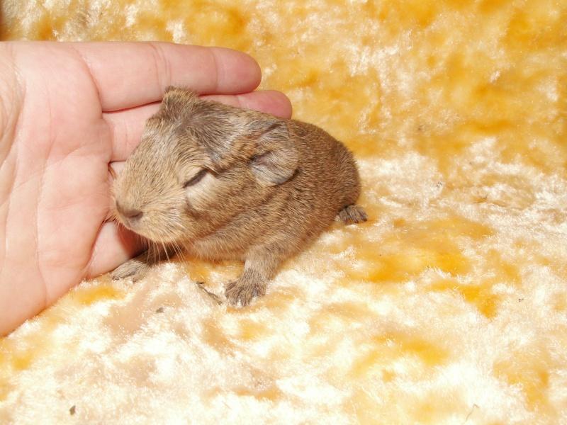 Petit mâle agouti crème proposé à l'adoption 01012