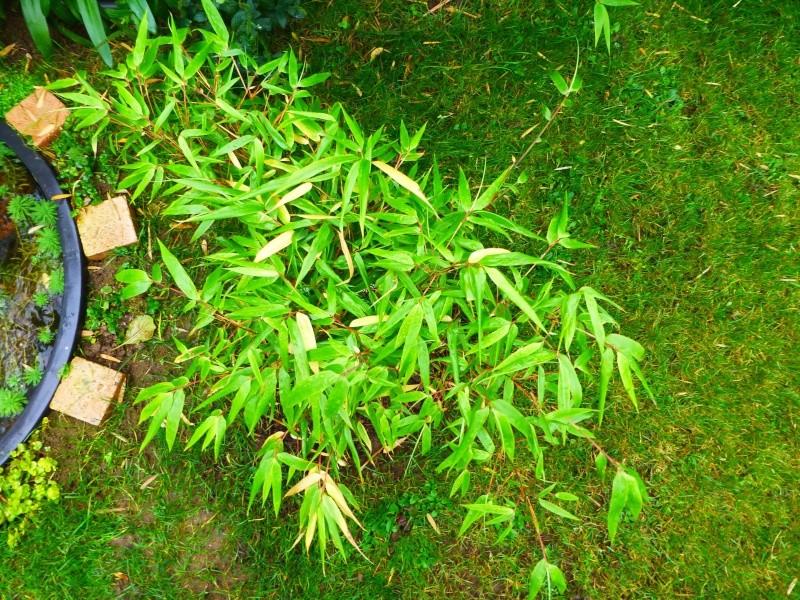 Nos bambous , en pots et jardin .  P1020910