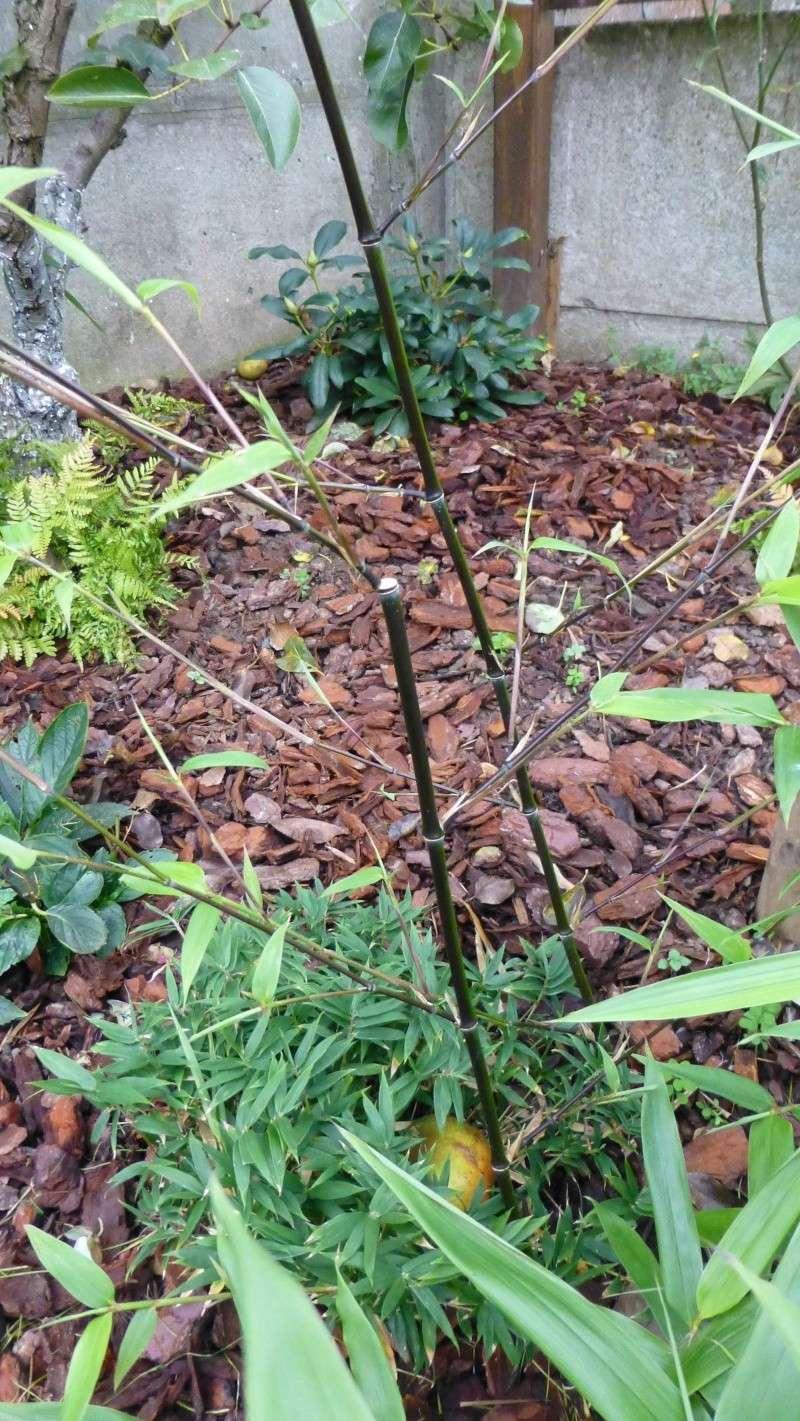 Nos bambous , en pots et jardin .  P1020912