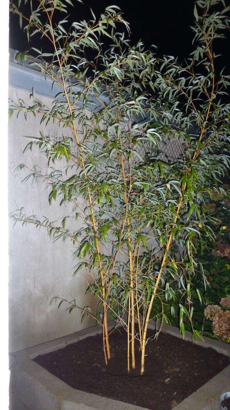 Phyllostachys vivax 'Aureocaulis' P1030310