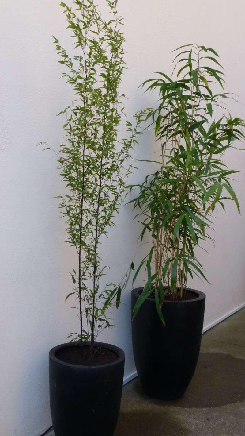 Nos bambous , en pots et jardin .  P1030311