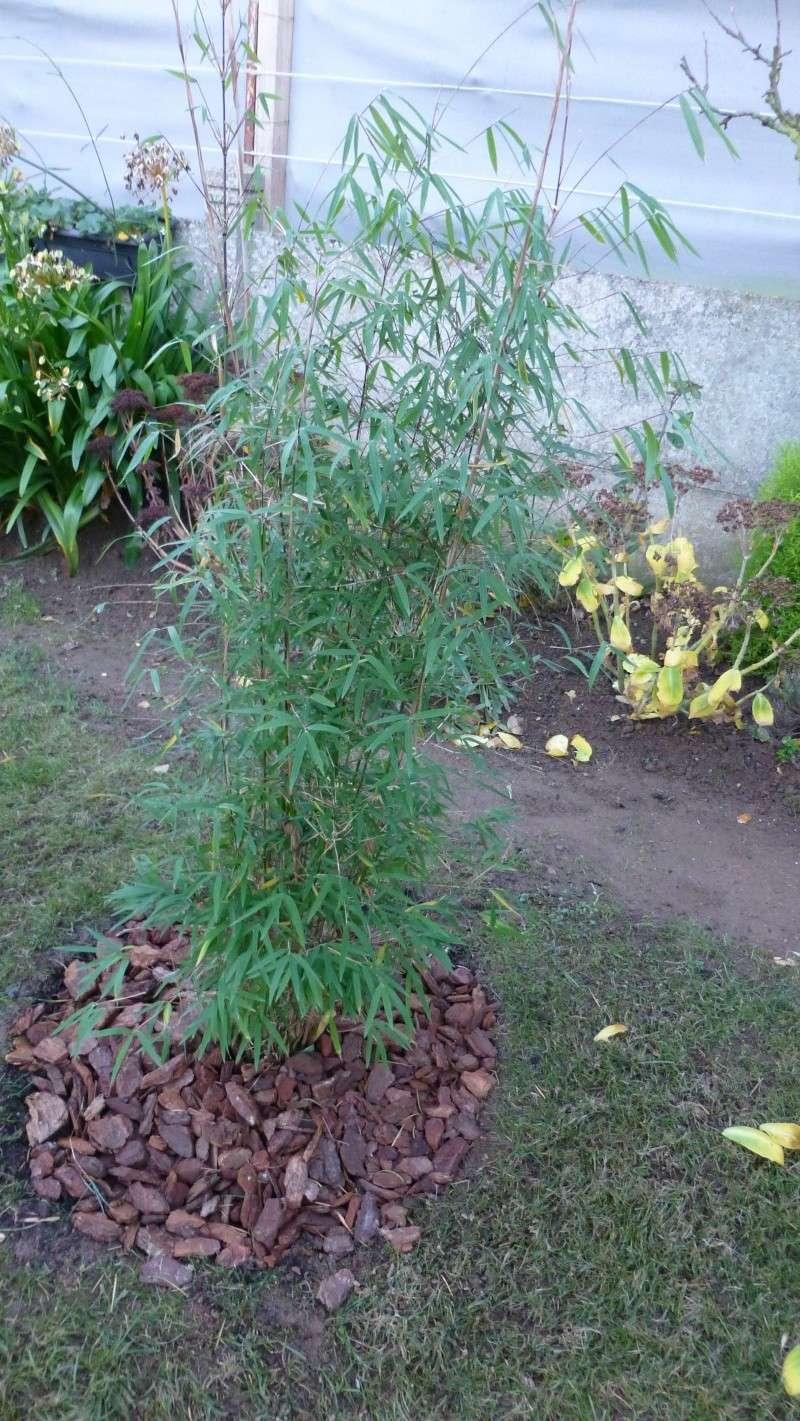 Nos bambous , en pots et jardin .  P1030410