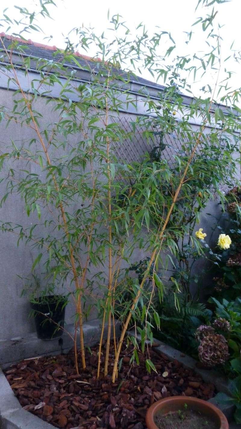 Nos bambous , en pots et jardin .  P1030411