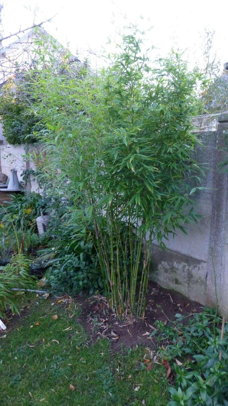 Nos bambous , en pots et jardin .  P1030412