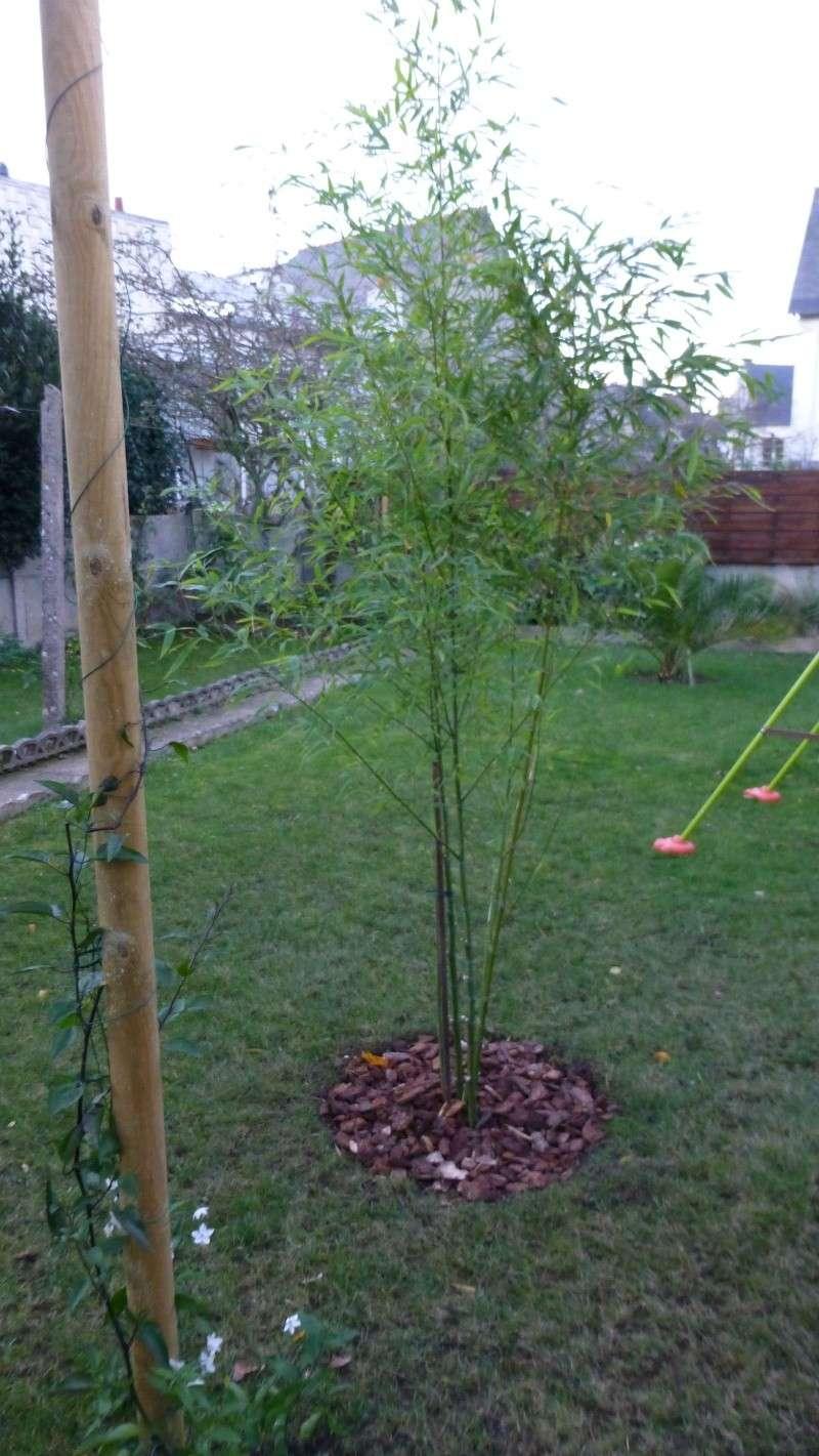 Nos bambous , en pots et jardin .  P1030413