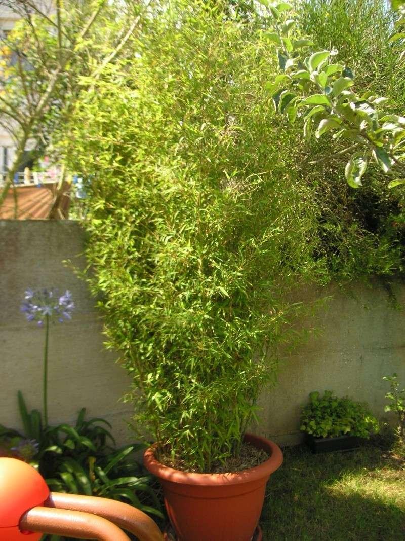 Nos bambous , en pots et jardin .  Pict1710