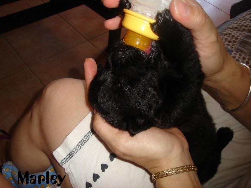 Marley, croisée Rott Labrador ( je l'ai re-rebaptisée, pff ! Dsc06817