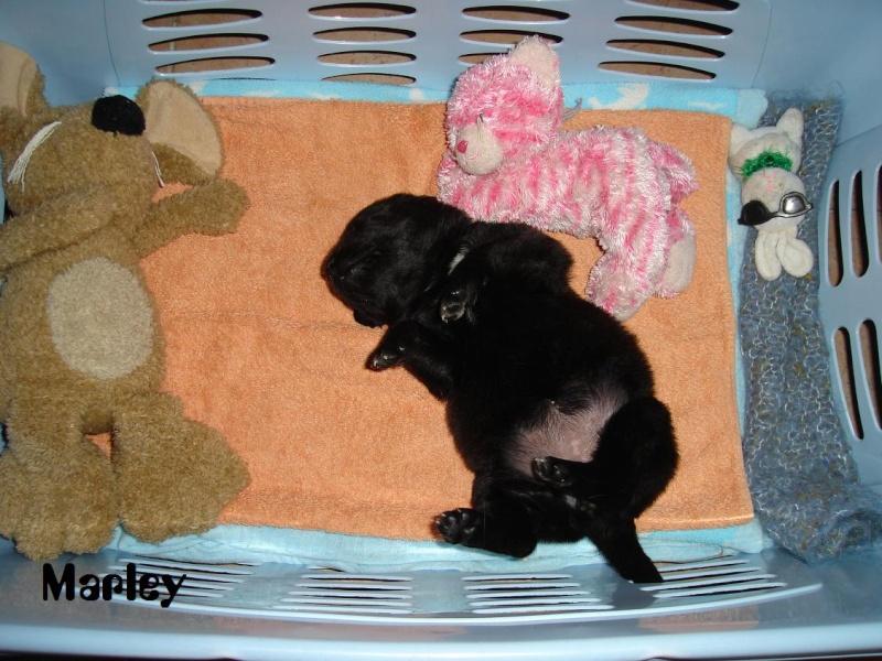 Marley, croisée Rott Labrador ( je l'ai re-rebaptisée, pff ! Dsc06822