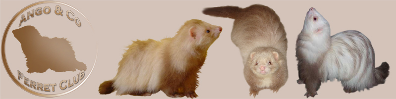 Ango and Co Ferret Club