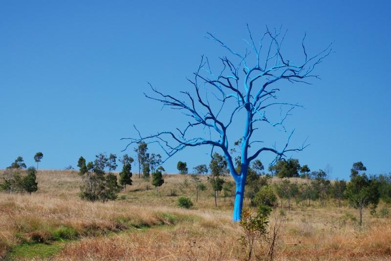 Un arbre bleu.. - Mount Annan (près de Sydney) - Australie 22742710