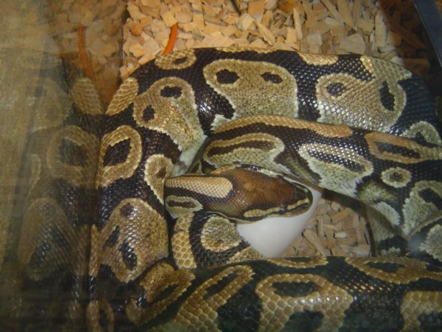 Accouplement Pythons regius Dsc01319