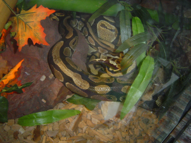 Accouplement Pythons regius Python11