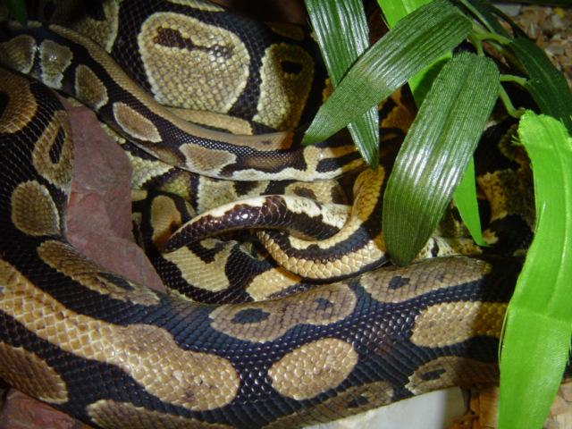 Accouplement Pythons regius Python12
