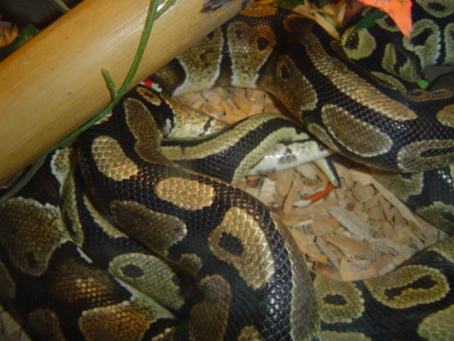 Accouplement Pythons regius Python15