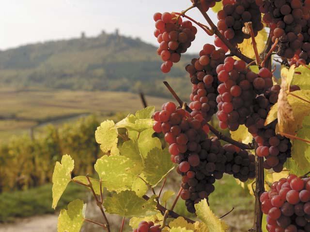Les Vins d'ALSACE - Page 2 Gewurt10