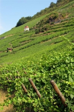 Les Vins d'ALSACE Rangen13