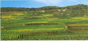 Les Vins d'ALSACE - Page 2 Weinba15