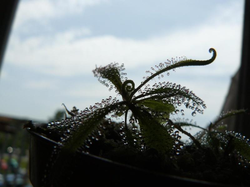 Evolution d'un Drosera adelae Mai_2011