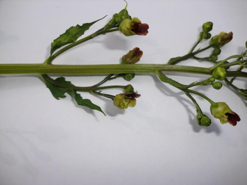 Scrofulaire des bois / Scrofularia nodosa Cimg4511