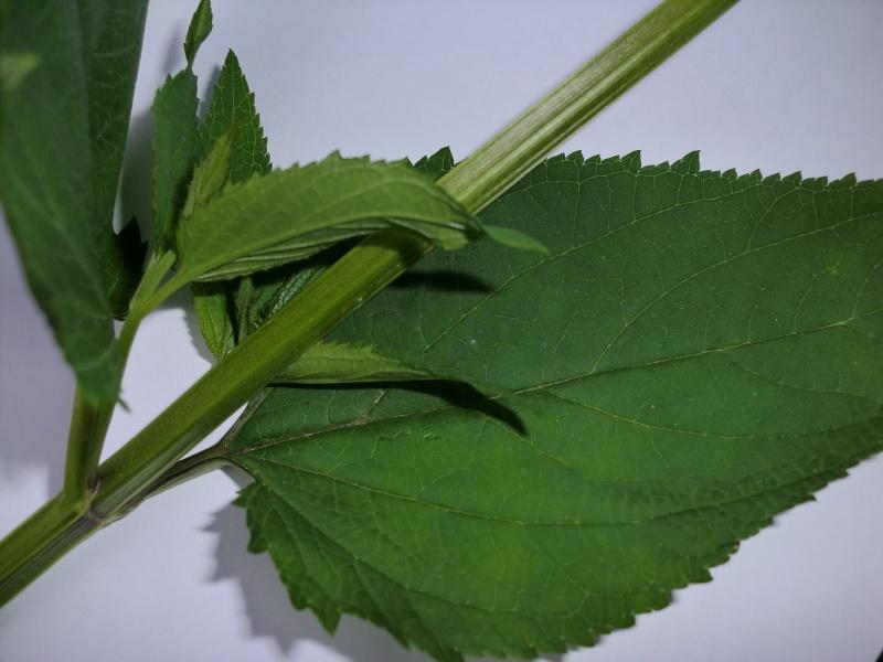 Scrofulaire des bois / Scrofularia nodosa Cimg4513