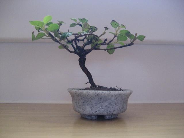Mini bonsai Img_1912