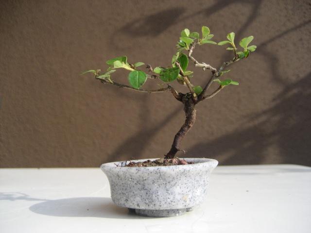 Mini bonsai Img_2011