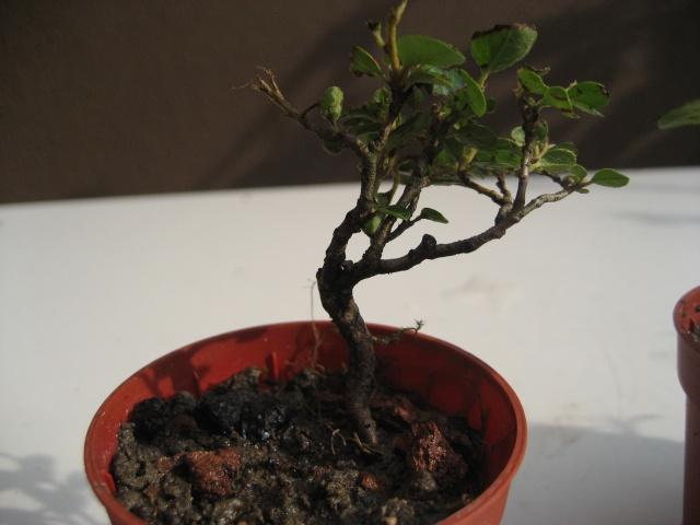 Mini bonsai Img_2012
