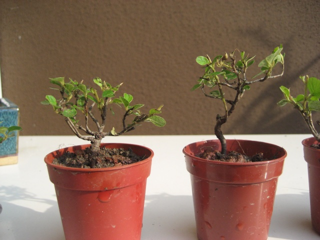 Mini bonsai Img_2013