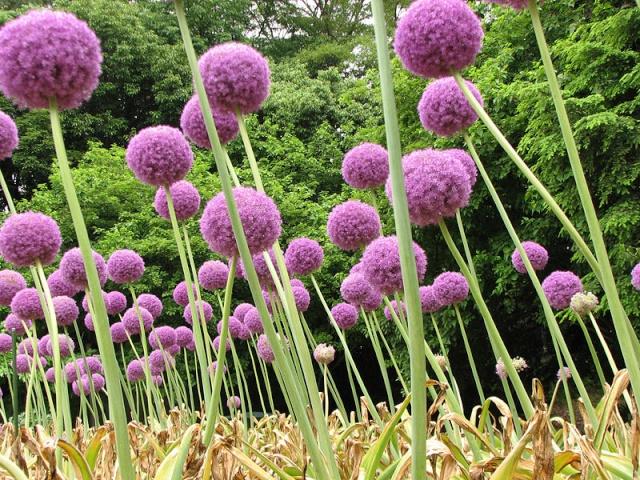 recherche sans foto [Allium Giganteum] 800px-12