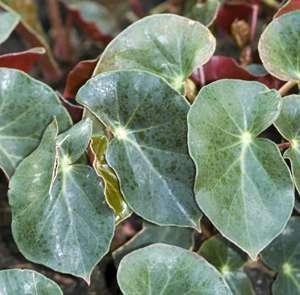Echange bambusiformes contre gde feuilles arrondies :-) Begoni10