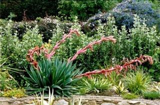 recherche d'une plante d'extérieur [DierAma pulcherrimum] - Page 2 Bescho11