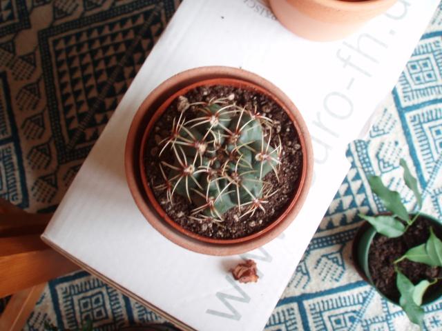 cactus anonymus [?Gymnocalycium baldanium?] Cactus11