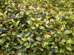 plante tapissante Cerato10