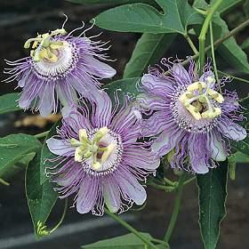 Petit résumé des Passifloras les plus résistantes - Page 2 P_inca10