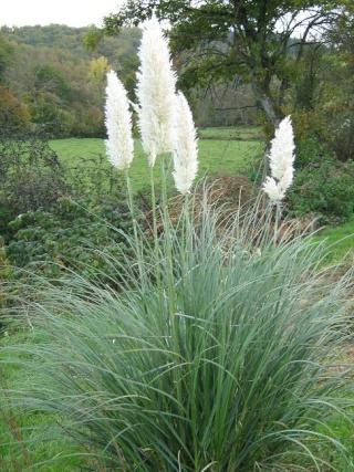 recherche d'une plante d'extérieur [DierAma pulcherrimum] - Page 2 Pampas10