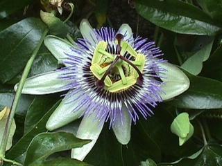 Petit résumé des Passifloras les plus résistantes - Page 2 Passif11