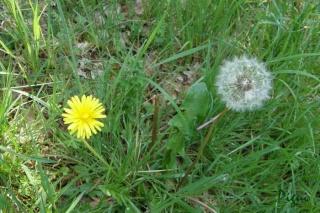 Question sur les fleurs plumeuses Pissen10