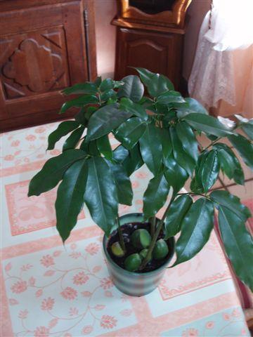 Identification [Castanospermum australe] Plante10