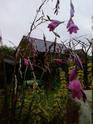 recherche d'une plante d'extérieur [DierAma pulcherrimum] - Page 3 Cather11