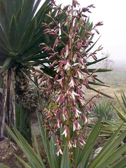 recherche d'une plante d'extérieur [DierAma pulcherrimum] - Page 2 Yucca10