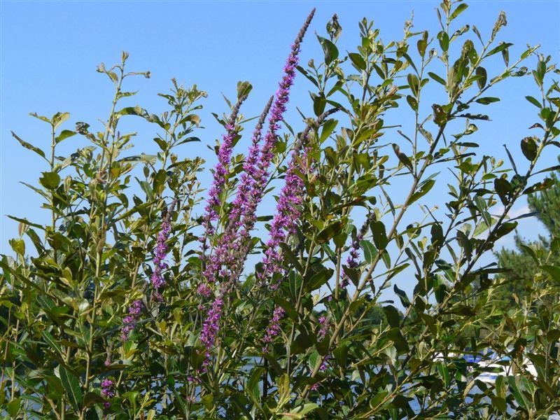 fleurs zone humide P1050629