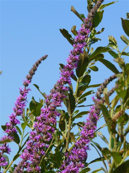 fleurs zone humide P1050630