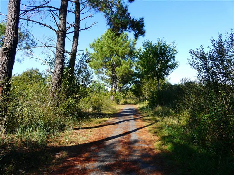 chemin sous les pins P1100811