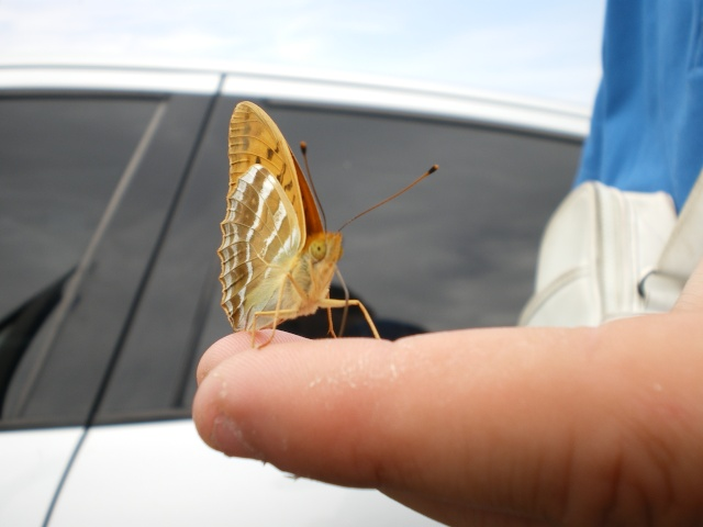 un papillon peu farouche Imgp1510