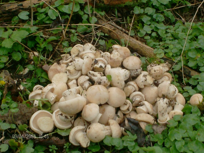 Rubrique mycologique Hpim0414