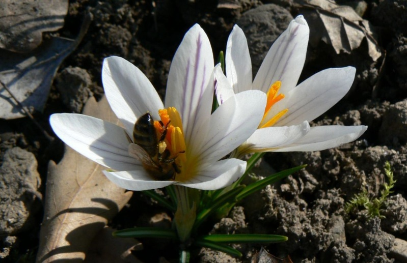 Crocus versicolor ? Versic10